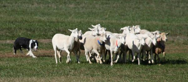dog herding group of sheep